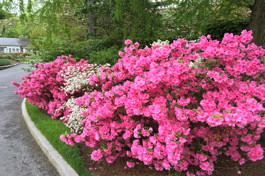Azaleas in bloom near the cutting garden