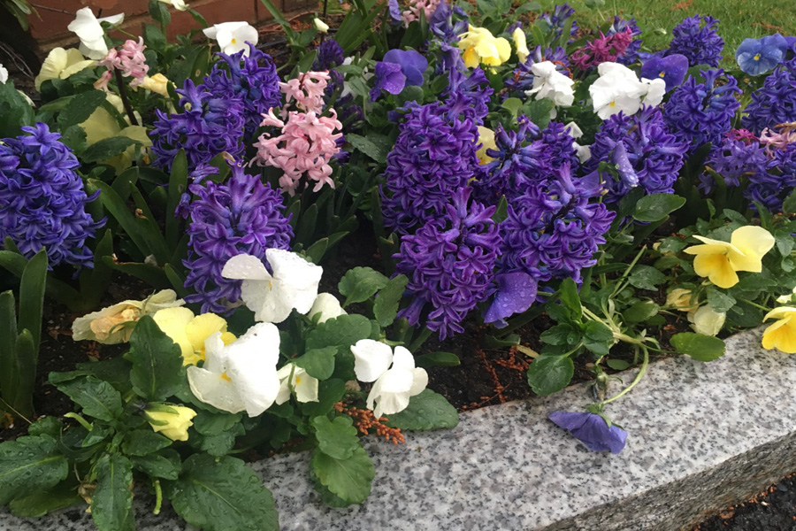Hyacinths and pansies blooming in the motor court